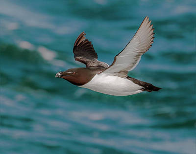Razorbill Wall Art - Photograph - Summer Razorbill by Roy McPeak