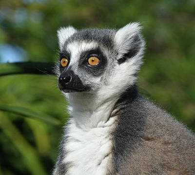 Photograph - Summer Ring-tailed Lemur by Margaret Saheed