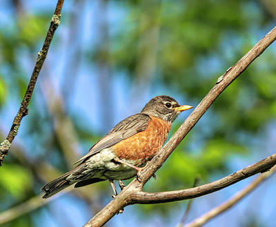 Photograph - Summer Robin by Dan Sproul
