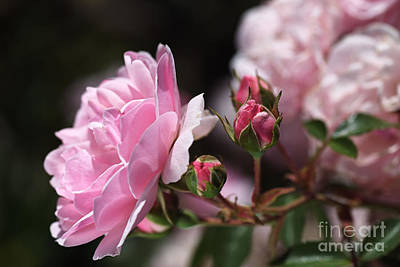 Photograph - Summer Roses  by Joy Watson