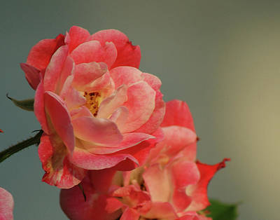 Photograph - Summer Roses by Margie Avellino