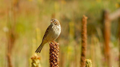 Photograph - Summer Sparrow by Dan Miller