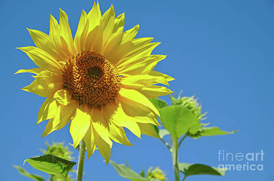 Photograph - Summer Sunflower by Angelo DeVal