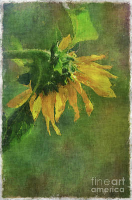 Photograph - Summer Sunflower by Debbie Portwood
