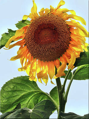 Photograph - Summer Sunflower by Mikki Cucuzzo