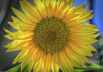 Photograph - Summer Sunflower by Mitch Shindelbower