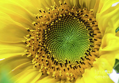 Photograph - Summer Sunflower by Suzanne Luft