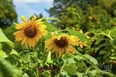 Photograph - Summer Sunflowers by George Sheldon