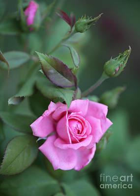 Photograph - Summer Sweet Rose by Carol Groenen