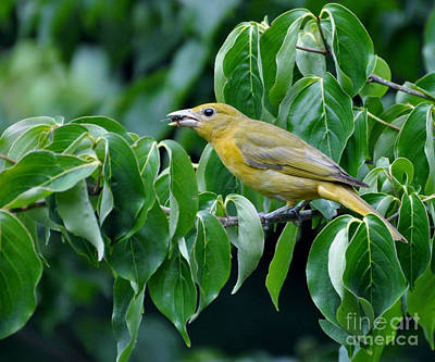Photograph - Summer Tanager by Maureen Cavanaugh Berry