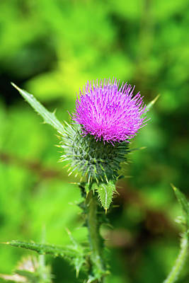 Photograph - Summer Thistle by Tikvah's Hope