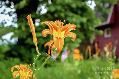 Photograph - Summer Tiger Lilies by Colleen Kammerer