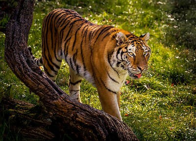 Photograph - Summer Tiger by Rikk Flohr