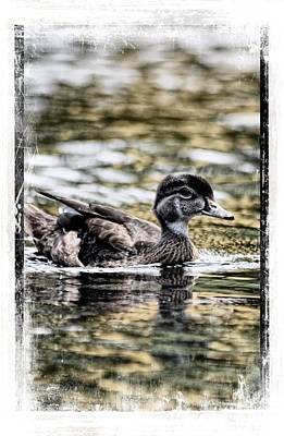 Photograph - Summer Time Wood Duck by Sheri McLeroy