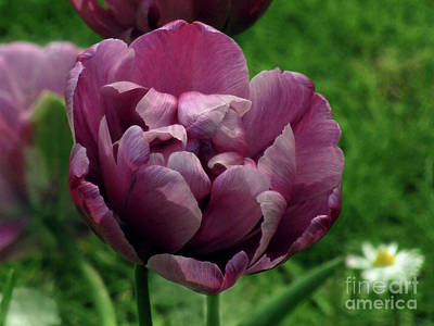 Photograph - Summer Tulips 3 by Kim Tran