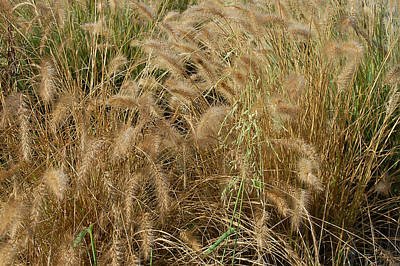 Photograph - Summer Wheat by Aimee L Maher Photography and Art Visit ALMGallerydotcom