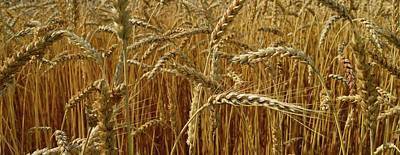 Photograph - Summer Wheat  by Lyle Crump