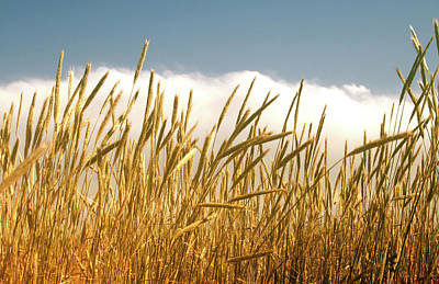 Photograph - Summer Wheat by Marie Leslie