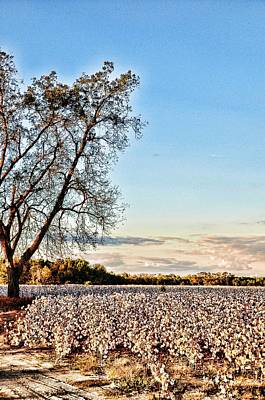 Photograph - Summerhill Cotton by Jan Amiss Photography
