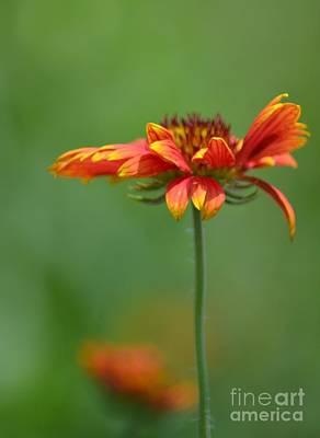 Photograph - Summer's Firewheel by Maria Urso