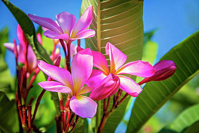 Photograph - Summer's Prettiest Plumeria by Lynn Bauer