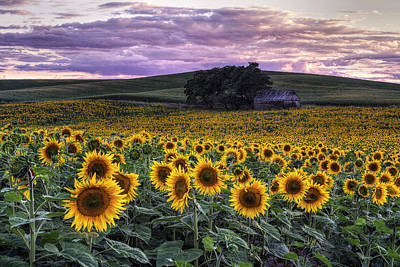 Sunflowers Royalty-Free and Rights-Managed Images - Summertime Sunflowers by Mark Kiver