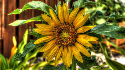 Photograph - Summery Sunflower by Lawrence S Richardson Jr