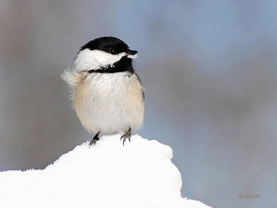 Photograph - Summit - Black-capped Chickadee by Christina Rollo