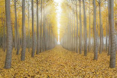 Wall Art - Photograph - Sun Beams In Poplar Tree Farm In Fall by David Gn