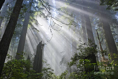 Photograph - Sun Beams In Redwood Forest by Inga Spence