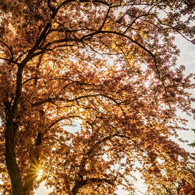 Photograph - Sun Beams Through Cherry Blossoms by Chris Bordeleau
