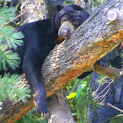 Photograph - Sun  Bear - Afternoon Nap by Laurel Talabere