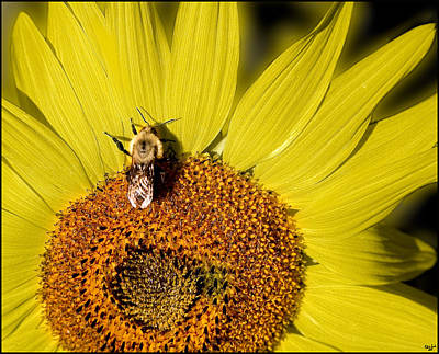 Photograph - Sun Bee by Chris Lord
