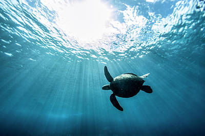 Hawaii Sea Turtle Photograph - Sun Burst by Sean Davey