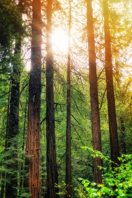 Sun Bursting Through California Redwoods Tress - Muir Woods Art Print