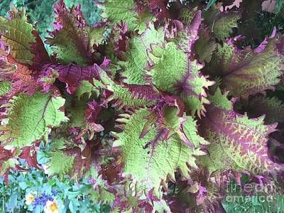 Staff Picks Judy Bernier Rights Managed Images - Sun Coleus Royalty-Free Image by Nancy Koehler