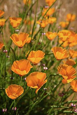 Photograph - Sun Drenched California Poppies by Lynn Bauer