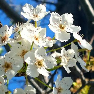 Florals Photograph - #sun Drenched #tree #blossoms So Sweet by Shari Warren