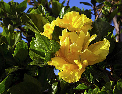 Photograph - Sun-drenched Yellow Hibiscus by Marie Hicks