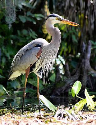 Photograph - Sun Dry Great Blue Heron by Sheri McLeroy