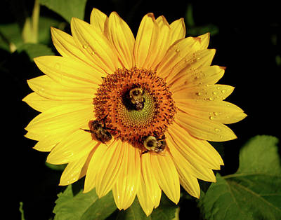 Photograph - Sunflower And Bees by Nancy Landry