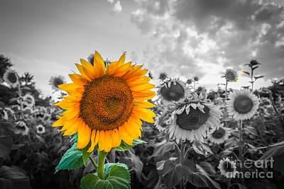 Photograph - Sun Flower B And W by Mina Isaac