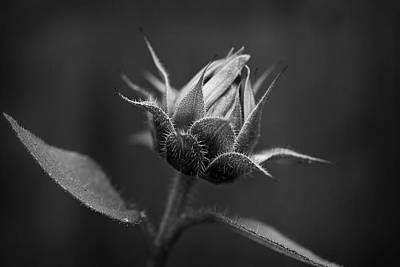Photograph - Sun Flower Blossom Bw by Morgan Wright