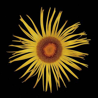 Photograph - Sun Flower by Colin Drysdale