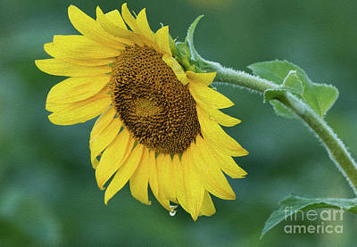 Photograph - Sun Flower Drop by Art Cole