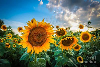 Photograph - Sun Flower Glow by Mina Isaac