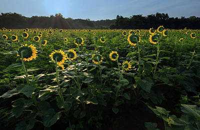 Photograph - Sun Flower Light by Art Cole