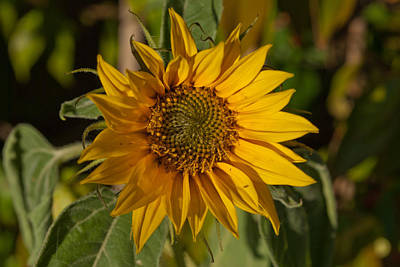 Photograph - Sun Flower by Lynn Hughes