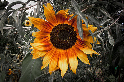 Photograph - Sun Flower by Stewart Scott