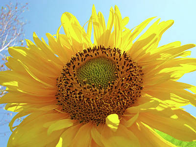 Sunflowers Royalty-Free and Rights-Managed Images - SUN FLOWERS Art SUNFLOWER Giclee Prints Baslee Troutman  by Baslee Troutman